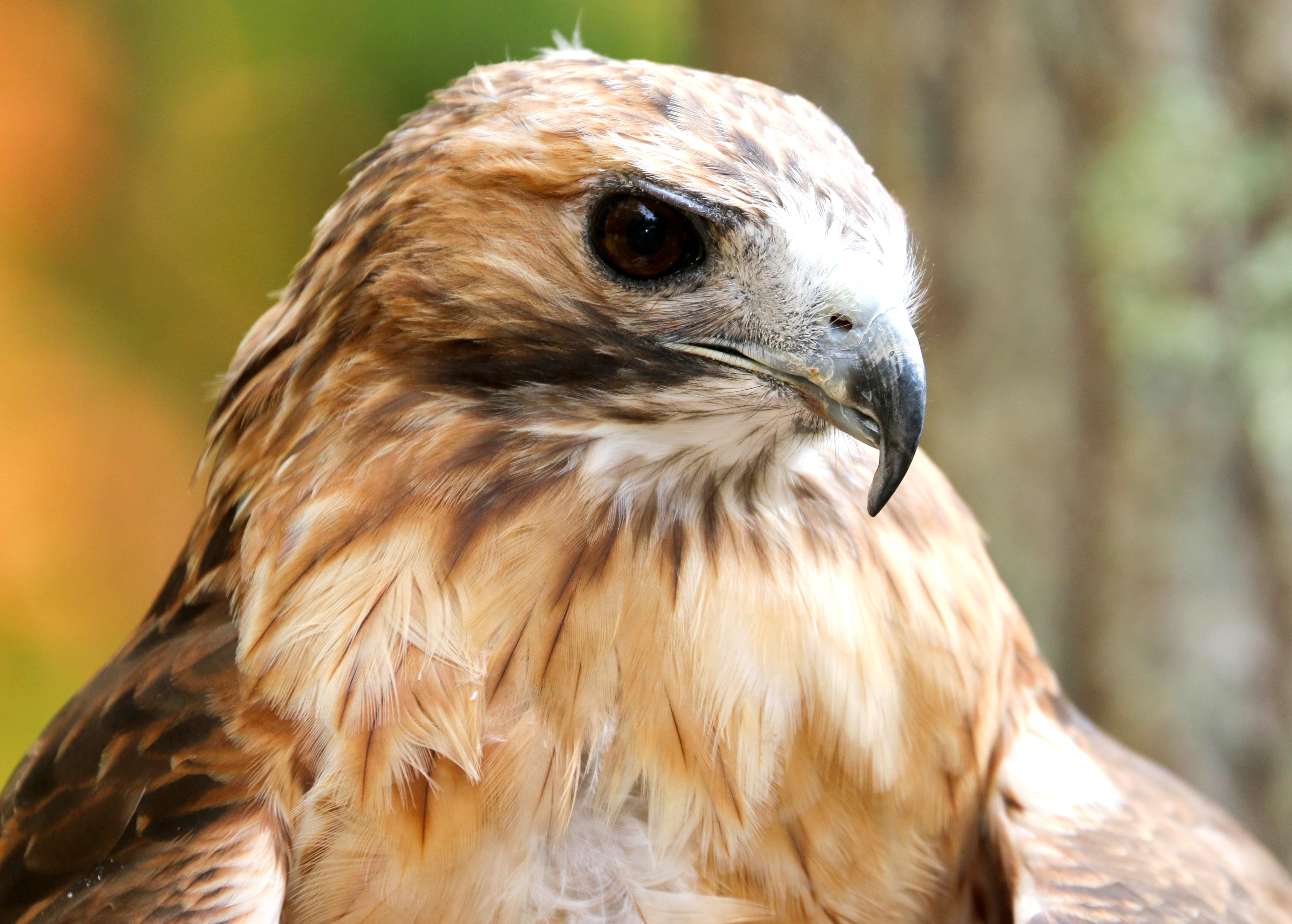 Dakota- Red Tail Hawk