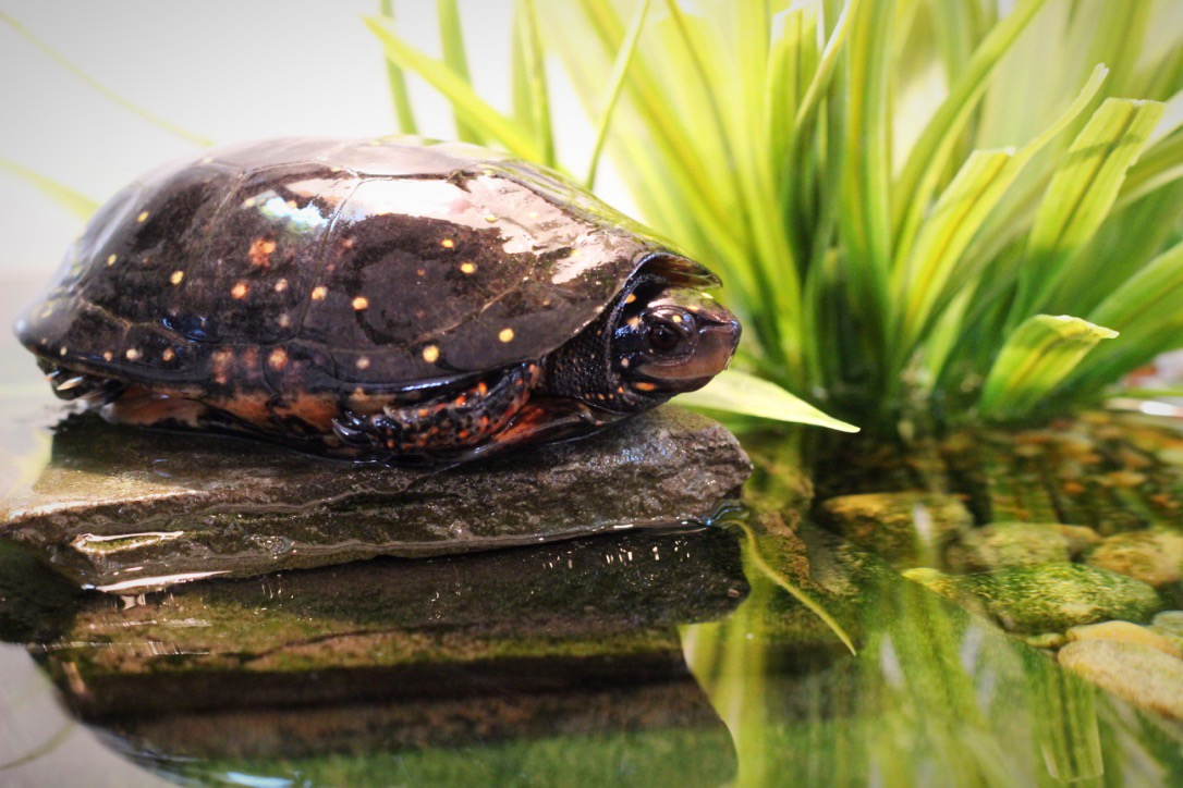 Franklin- Spotted Turtle