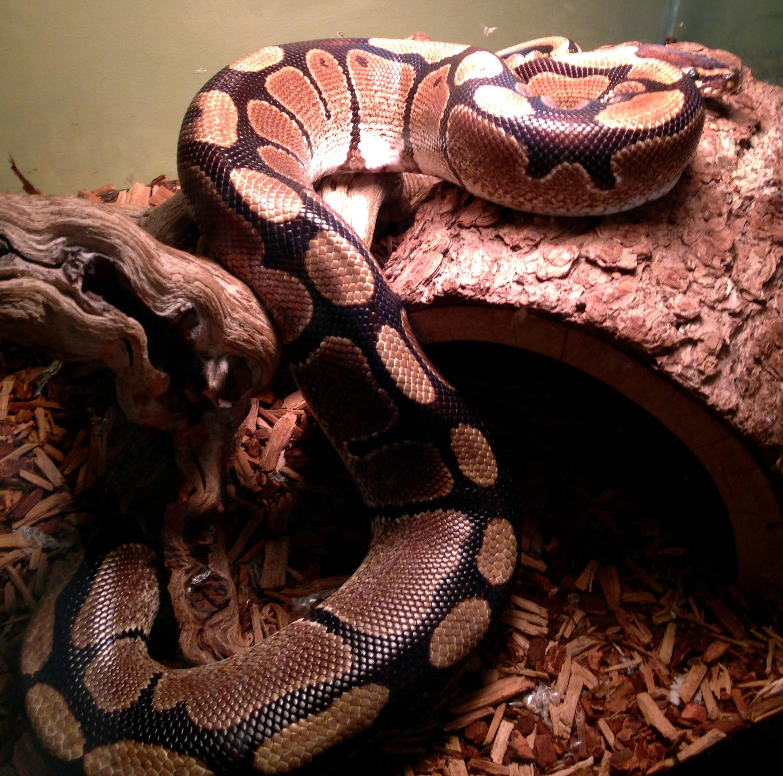 Monty- (Retired) African Ball Python