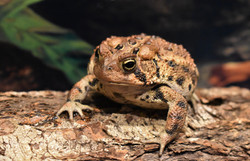 Mr. Toad- American Toad