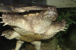 Tank- Snapping Turtle