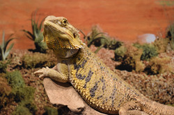 Pancake- Bearded Dragon