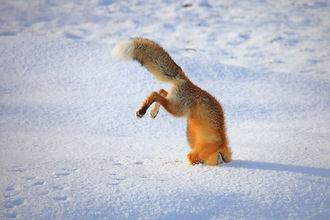 3_CATERS_FOX_DIVE_04.jpg