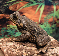 Walter- Cane Toad