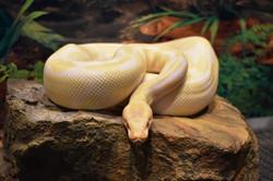 Jasper- Albino Ball Python