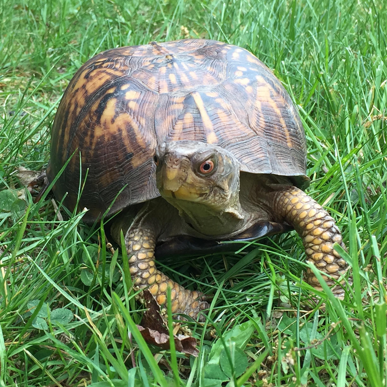 Elma- Eastern Box Turtle