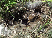 1280px-Eastern_Cottontail_rabbit_nest_20