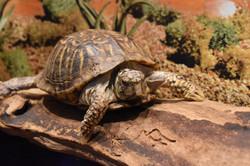 Juanita- Western Box Turtle