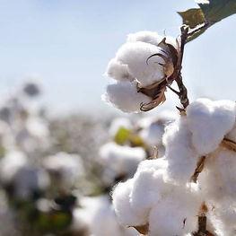 Organc Cotton