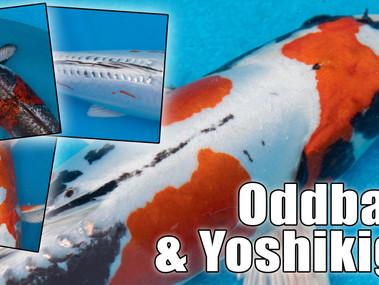 Oddballs & Yoshikigoi