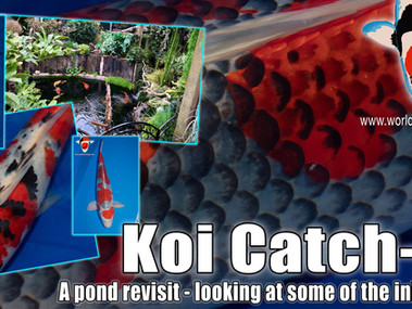 Koi Catch-Up