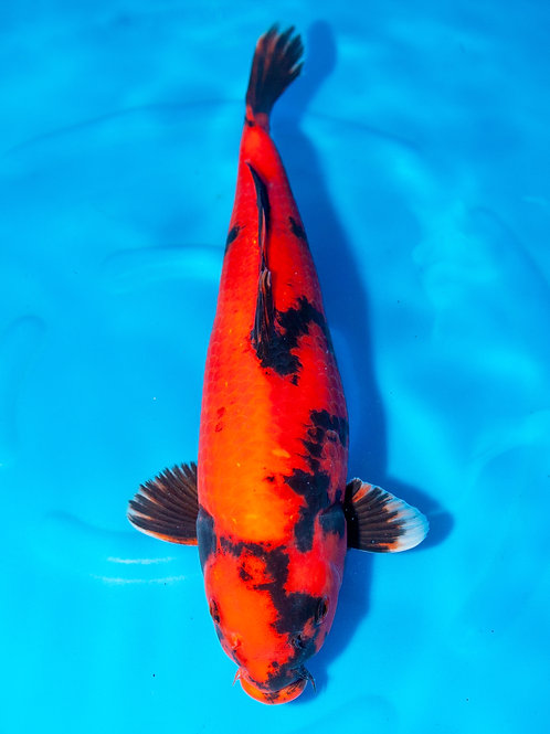 Shinoda //  40-45cm