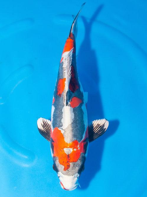 Sakuma //  35-40cm