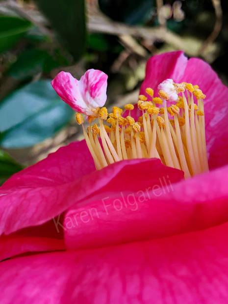 Pink Camelia Heart