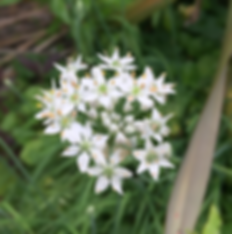 Garlic chives have a white star shaped flower