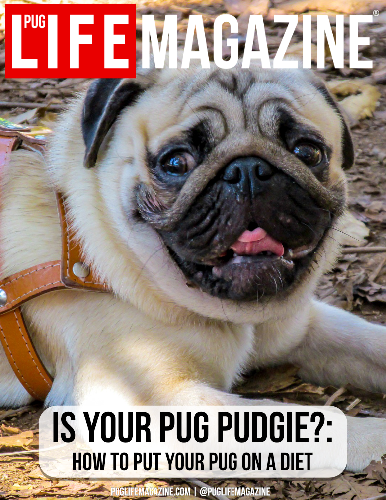 Pug Life Magazine | How put your pug dog on a diet