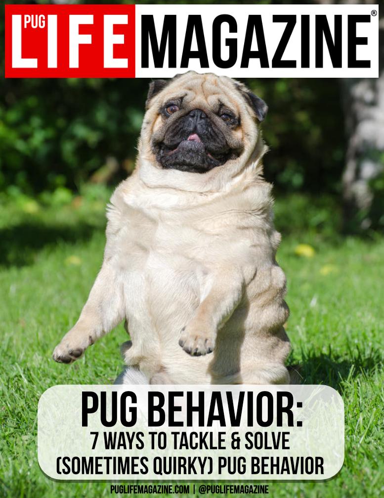 Tackling Sometimes Quirky Pug Behavior Pug Life Magazine A