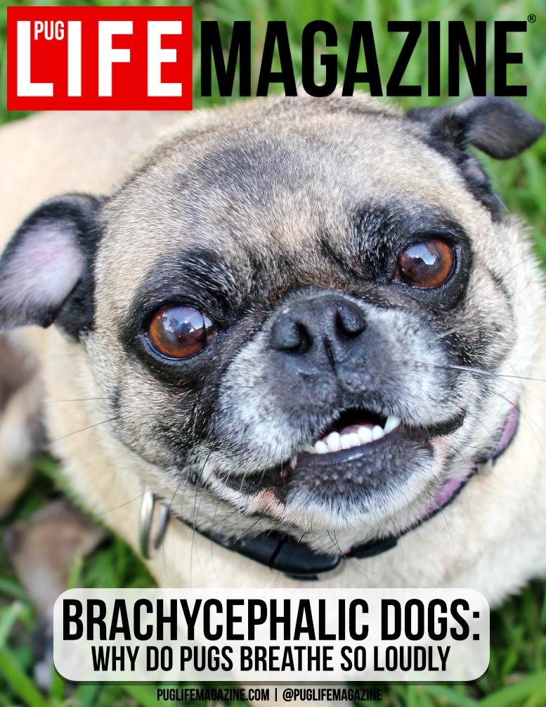 Brachycephalic Dogs: Why Do Pugs Breathe So Loudly