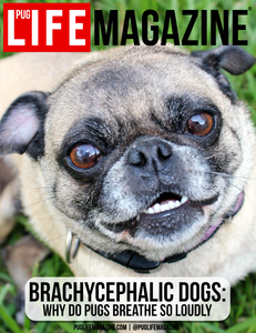 Brachycephalic Dogs: Why Do Pugs Breathe So Loudly