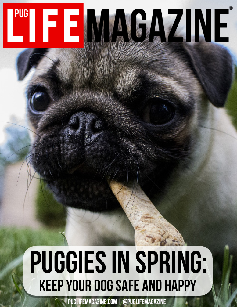 Pugs in Spring: Keep Your Dog Safe & Happy