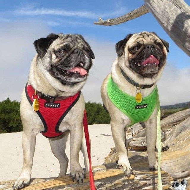 Puppia dog harness for pugs