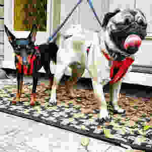 Pug and Chihuahua in harness