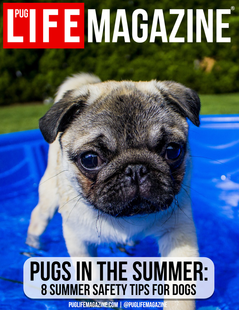 Wondering how to keep your pug cool in the summer? Here are 8 summer safety tips for dogs when the weather gets warm.