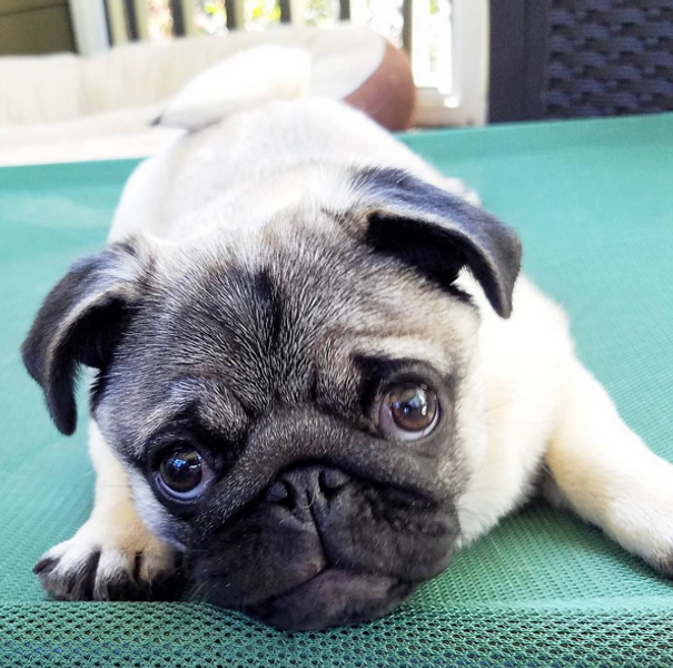 Volume 8 | Georgie Fae the Pug | Pug Life Magazine | A community of