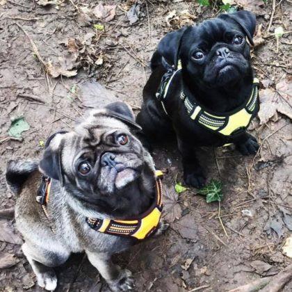 Ruffwear dog harness for pugs
