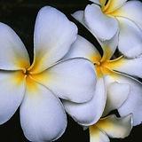 ホワイトフランジパニの花