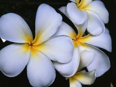 White Frangipani Flowers
