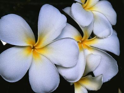 Weiße Frangipani Blumen