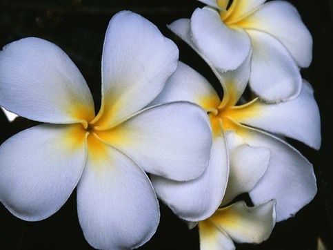 Белые Франджипани Цветы