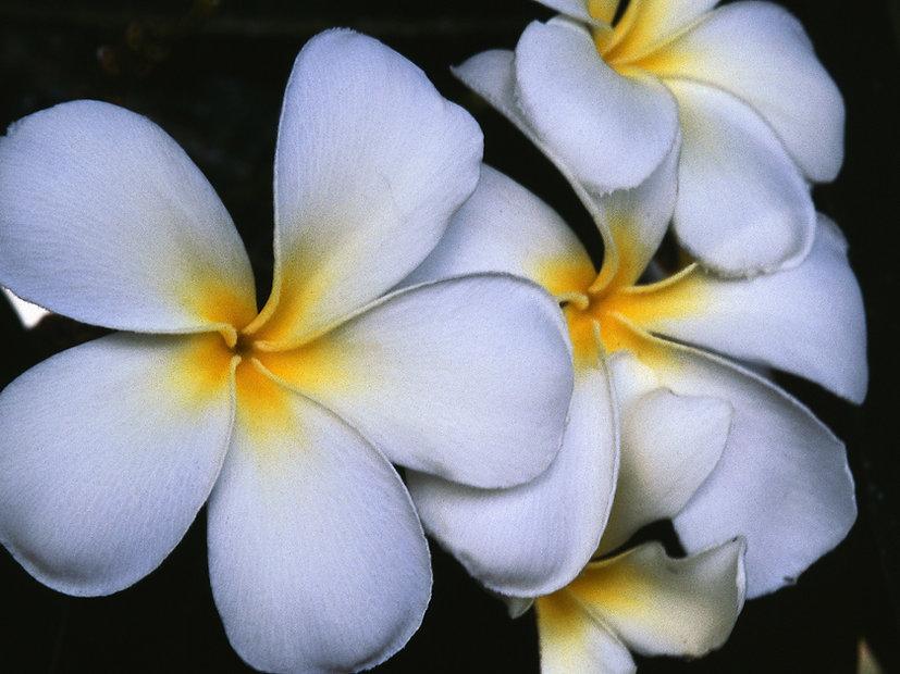 Fleurs blanches frangipanier