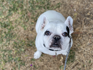 Harley | French Bulldog | Valencia, CA | In-Training