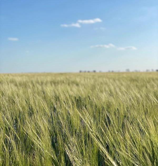 LightenUp_HQ_barley_crop