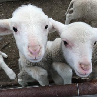 Cute lambs at Ibon Rowena