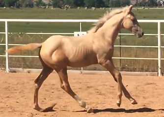 Remarkably Gold Canter 9-13-20.jpg