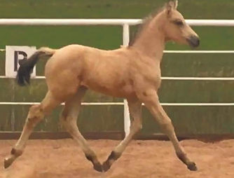 2020%20Buckskin%20KWPN%20Filly%203%20-%2