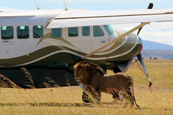 lion by airplane