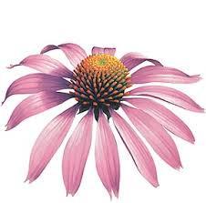 Home Remedies Echinacea