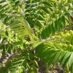 Poisonous Plants sumac