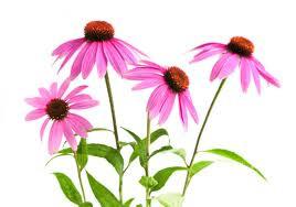 home remedies echinacea2