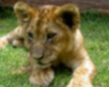 baby lion.jpg
