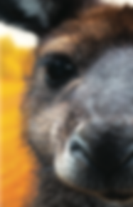 half kangaroo.png