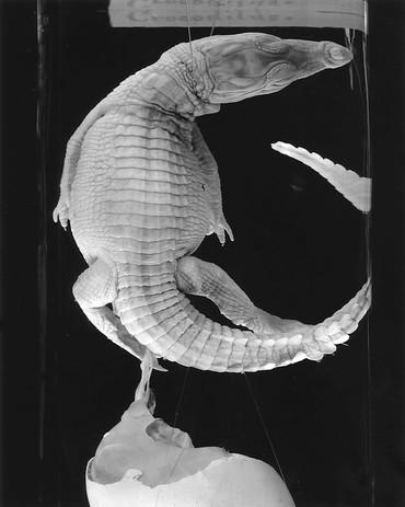 Crocodilus.jpg