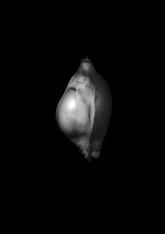 Ovule.jpg