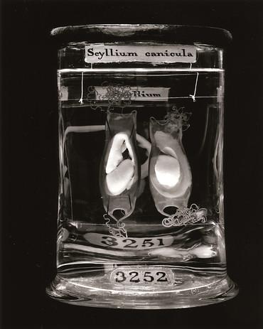 Scyllium Canicula.jpg