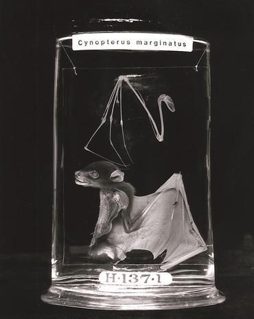 Cynopterus Marginatus I.jpg