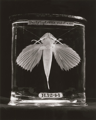 Dactylopterus Volitans I.jpg